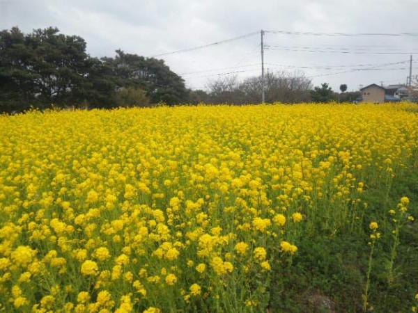 鋸山 菜の花畑