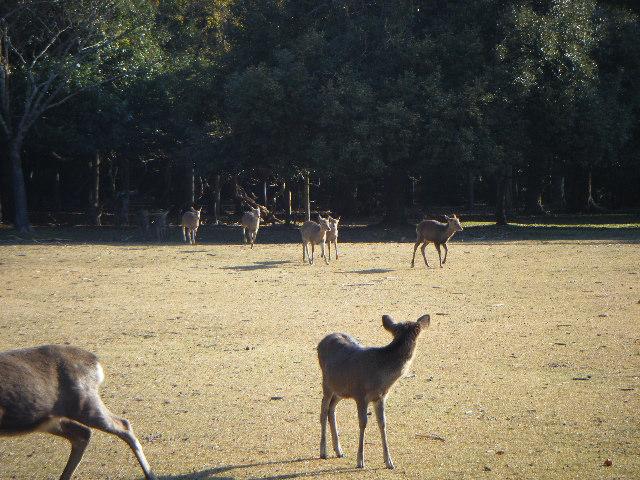 飛火野 鹿寄せ